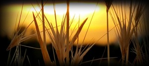 sunset_grass